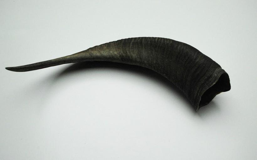Hörner - Mufflon