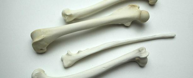 Knochen - Beinknochen