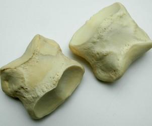 Knochen - Pferd Fußgelenkknochen