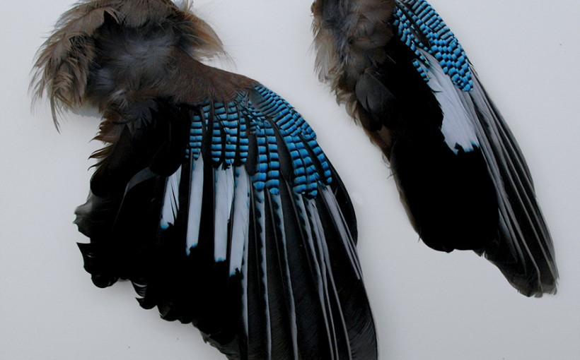 Flügel - Eichelhäher