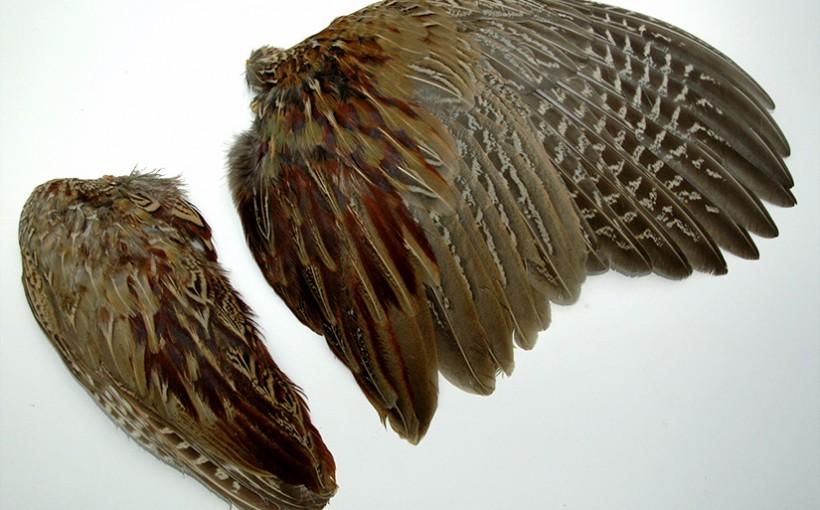 Flügel - Fasan Schwingen
