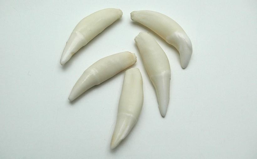 Zähne - Dachs