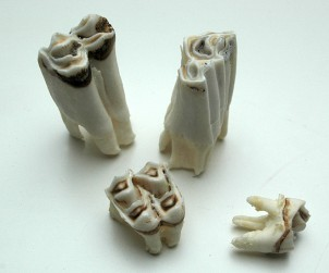 Zähne - Huftiere
