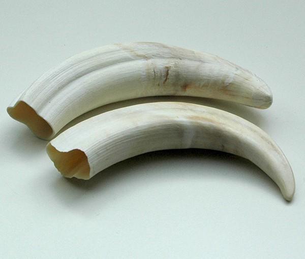 Zähne - Warzenschweinzähne