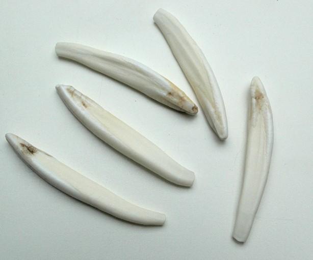 Zähne - Stiftzähne Wildschwein